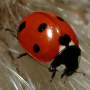 icon Ladybug - Live Wallpaper